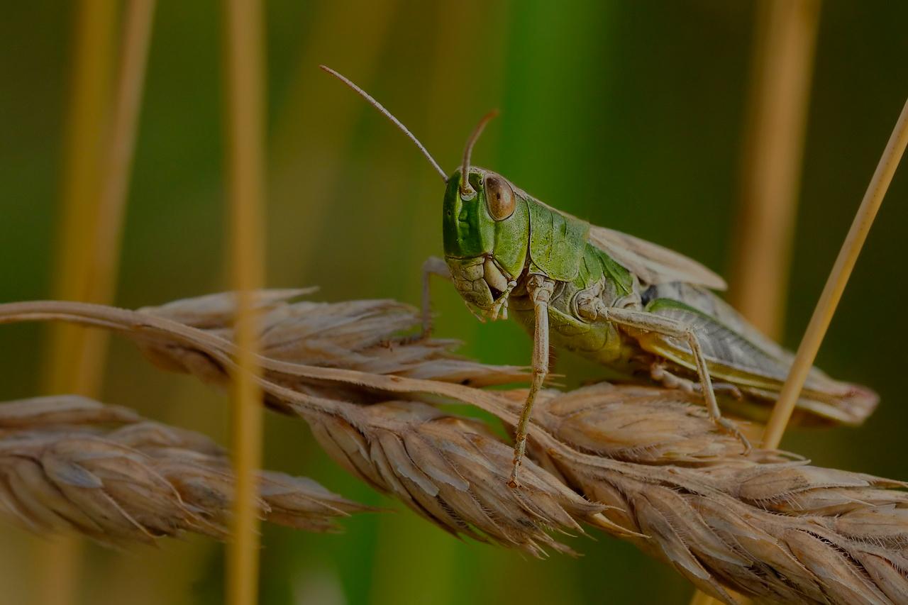 desert-locust-1865955_1280